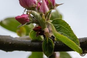 Nastavak snežnih padavina, moguće razvijanje patogena na jabuci