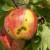 Vremenske prilike pogoduju razvoju čađave krastavosti, tretirajte voćnjake