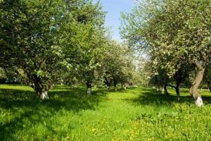 Ljetno plijevljenje i rezidba jabuke