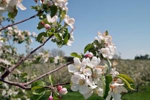 Kako riješiti problem alternativnog rađanja jabuke?