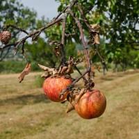 Zaštitite voće od truleži pravovremenim djelovanjem