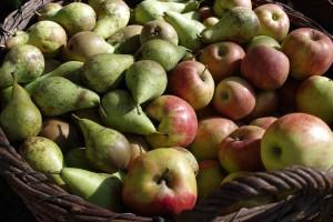 Koje su bolesti jabuke i kruške u skladištu