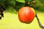 Sorte jabuka za uzgoj na okućnici