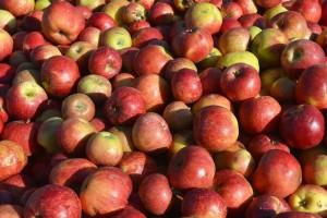 Jabuke u bescijenje: Voćari razočarani, u rakiju melju rekordan rod jabuka, cijena srušila sva nadanja