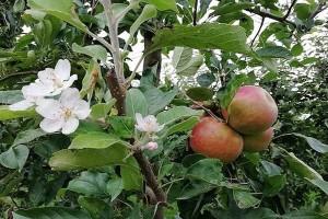 Jesenje cvetanje voćaka