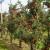 Koje se biljne vrste najbolje slažu sa jabukom?