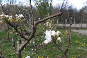 Mraz poharao voćnjake, štete i na jagodama i bajamu, ali i na povrću