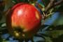 Umjesto voćarima, država pogoduje velikim otkupljivačima jabuka