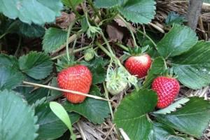 Insekti pomažu: Zbog oštećenih listova, dokazano bolji kvalitet plodova?