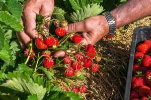 Uspješna tradicija gajenja jagoda još od kulina Bana