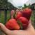 Hidroponski uzgoj jagode - dobar kvalitet ploda i ušteda na radnoj snazi