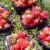 Berkovići: Kroz udruživanje i projekte do zasada jagoda i paprika