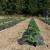 Pre sadnje jagoda mesečarki usitnite dobro zemlju