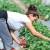 Cijena sata u berbi jagoda nikad veća - u poljima turistički radnici
