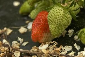 Kod uzgoja jagoda na gredici obratite pažnju na zallijevanje