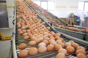 Ko u svetu izvozi, a ko najviše pojede jaja?