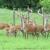 Posle pola veka na Zlataru se opet čuje rika jelena