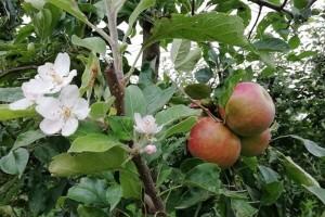Jesenska cvatnja voćaka