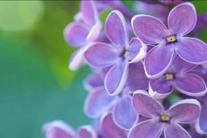 Jorgovan - ukrasni, jestivi i ljekoviti grm