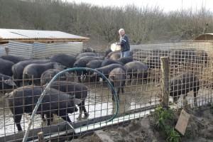 Josip Lilek uzgaja 150 crnih slavonskih svinja: Već pet godina ni one ni ja nismo morali kod doktora