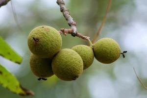 Zašto je crni orah jedno od nacjenjenijih vrsta šumskog drveća?