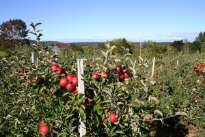 Đubrenje jabuke: Azot i kalijum utiču na crvenu boju ploda