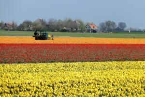 Holanđani uništavaju cveće - lukovicama lala hrane krave