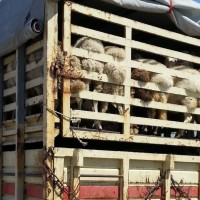 Traže od Vučković zabranu prijevoza živih životinja koji traje duže od 8 sati
