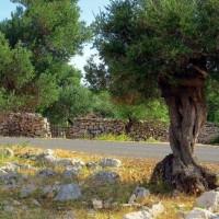 Temelji maslinarstva: Maslina je rasla i u donjem paleolitiku