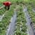 Željko Bjeliš: Počinje berba jagode, smanjite uvoz i otvorite prostor domaćim proizvođačima
