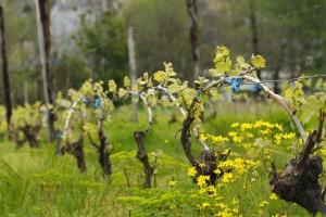 Suzbijte korove u nasadu vinove loze, ali prvo odstranite sve mladice