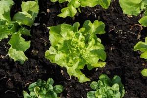 Uzgoj salate: Na šta treba obratiti pažnju?