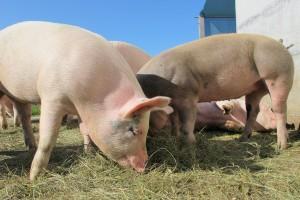 Vlada: Proizvođačima tovne junadi, svinja, janjadi i klaonicama 9 milijuna kuna pomoći