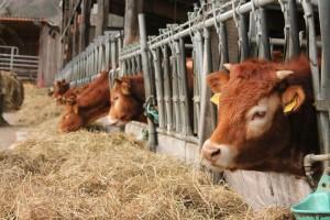 DZS: U ožujku zaklano više goveda, svinja i peradi, a manje ovaca