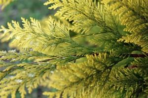 Zašto tuja žuti i kako smanjiti štetu?
