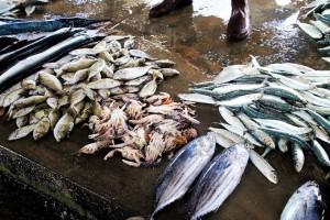 Ribarima olakšana prodaja tune i igluna, a kupcima pristup zdravoj ribi