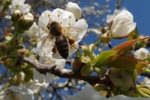Pčelarenje kao oprašivačka delatnost pokazalo se unosnim poslom