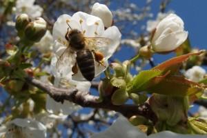 Pčelarenje kao oprašivačka djelatnost pokazalo se unosnim poslom