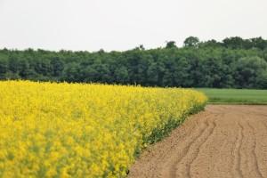 Poljska gorušica je budućnost u proizvodnji biopesticida?