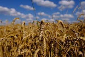 Uskoro kreće žetva pšenice - otkupna cijena ponovo neizvjesna?