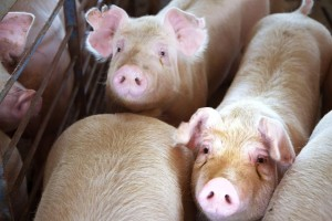 U Kini otkriven novi soj virusa svinjske gripe - mutira i ima potencijal pandemije?