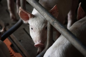 Uginulo tisuću svinja na farmi kod Varaždina - ugušile se?