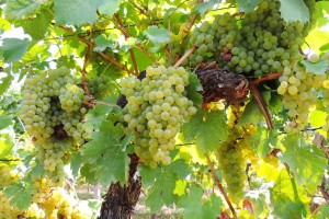 Zašto je važno optrgavanje listova u rodnom vinogradu?