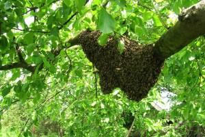 Vrijeme je rojenja, što kad vam se pčele nastane u dvorištu