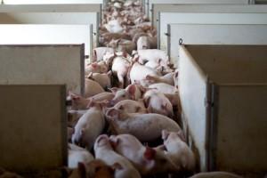 Zbog niskih otkupnih cijena svinjogojci su glavne žrtve zatvaranja klaonica