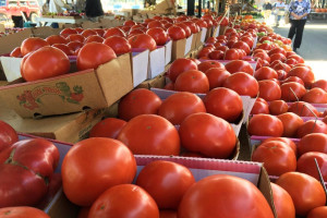 TISUP: Više cijene rajčice u odnosu na prošlu godinu, kilogram i iznad 10 kuna