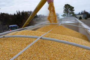 Amerika u Kinu isporučila rekordne količine kukuruza