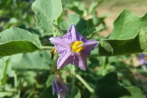 Kako spriječiti opadanje cvjetova patlidžana?