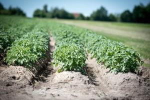Ove godine zasijano više kukuruza, soje i krompira, pad bilježe smilje i maline