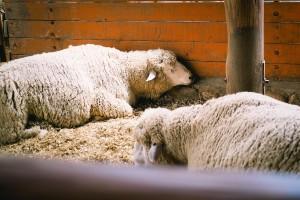 U maju u klaonicama zaklano gotovo upola manje ovaca nego godinu ranije
